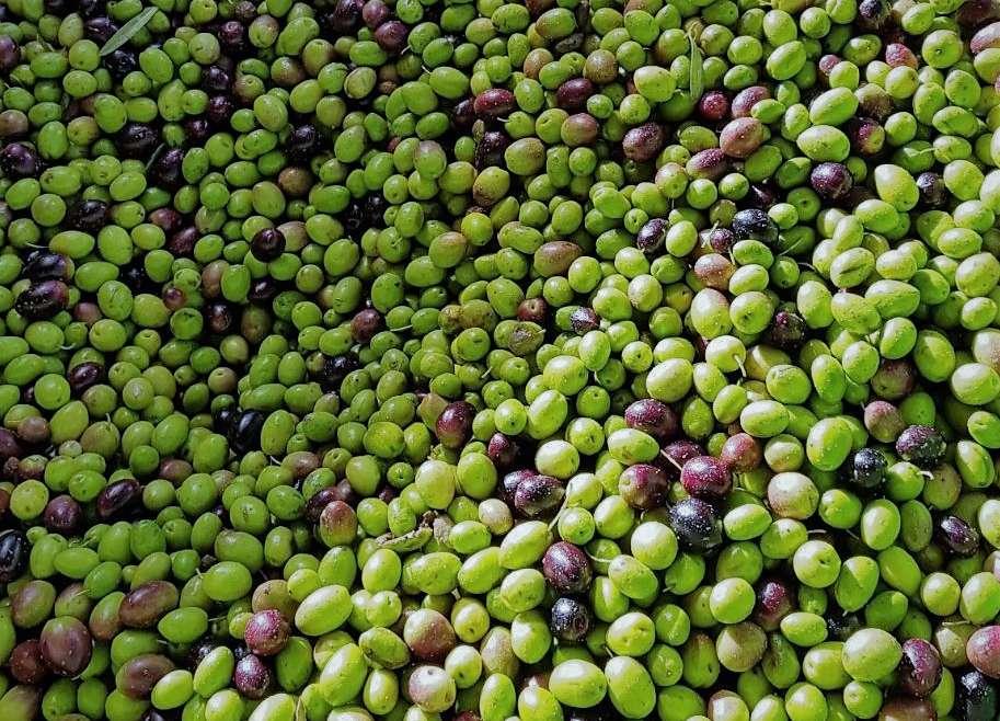 Was ist so besonders an Olivenölen der frühen Ernte?